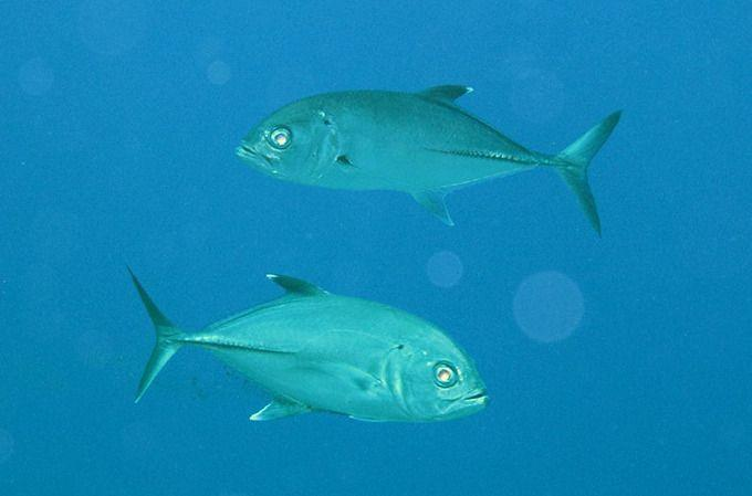 Giant trevally (Caranx ignobilis) checking us out. Photo: Roderick Eime