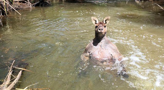 Jackson spotted the roo in the water. Source: Caters / Jackson Vincent