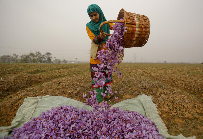 FILE- In this Nov. 1, 2015 file photo, a Kashmiri woman collects saffron flowers after plucking them at a farm in Pampore, south of Srinagar, Indian controlled Kashmir. Huge quantities of these flowers are used to produce saffron, an aromatic herb that is one of the most expensive spices in the world. Kashmir's rich soil produces some of India's most famous exports, including handwoven Pashmina shawls, basmati rice and saffron. (AP Photo/Mukhtar Khan, File)