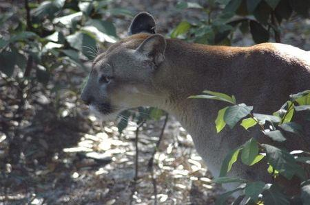 A panther is shown in this handout photograph courtesy of the Florida Fish and Wildlife Commission