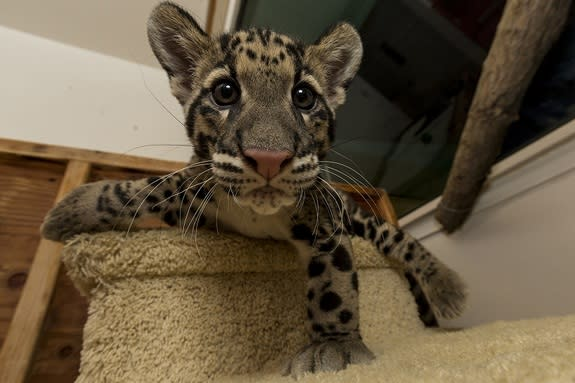 Riki-san, a 14-week-old clouded leopard at the San Diego Zoo.