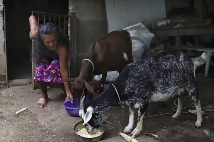 """Landslide survivor Ines Flamenco feeds corn to her goats; Pancha and Shunga, in the courtyard of her home in Los Angelitos, El Salvador, Wednesday, July 28, 2021. Flamenco recalling the night of October 29, 2020, said she awoke to see her kitchen gone and her goats bleating for help. """"If I tried to get closer and got a foot in the current, I would be pulled, go away and die with them."""" (AP Photo/Salvador Melendez)"""