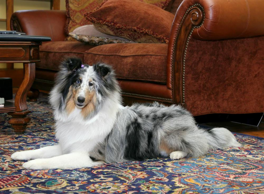 """<body><p>When our furry friends shed, the fur can really stick to rugs and carpet—a real pain for even the <a rel=""""nofollow"""" href="""" http://www.bobvila.com/articles/bob-vila-radio-vacuum-roundup/?bv=yahoo"""" title=""""http://www.bobvila.com/articles/bob-vila-radio-vacuum-roundup/"""" target=""""_blank"""">toughest of vacuums</a> to remove. But there's an easy trick to help: Start with a window squeegee or plastic glove to wipe up excess fur. Then, after you've pulled up most of it, proceed with a normal vacuuming in a zigzag pattern.</p></body>"""