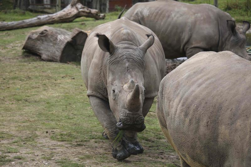Poachers Break into Paris Zoo to Kill 4-year-old Rhino for Its Horn