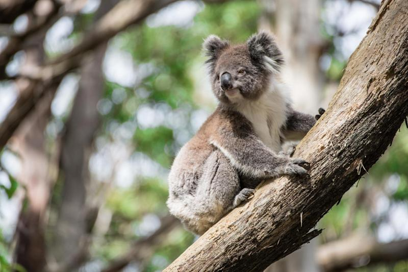 Police are investigating the death and mutilation of a koala (file photo): Getty Images