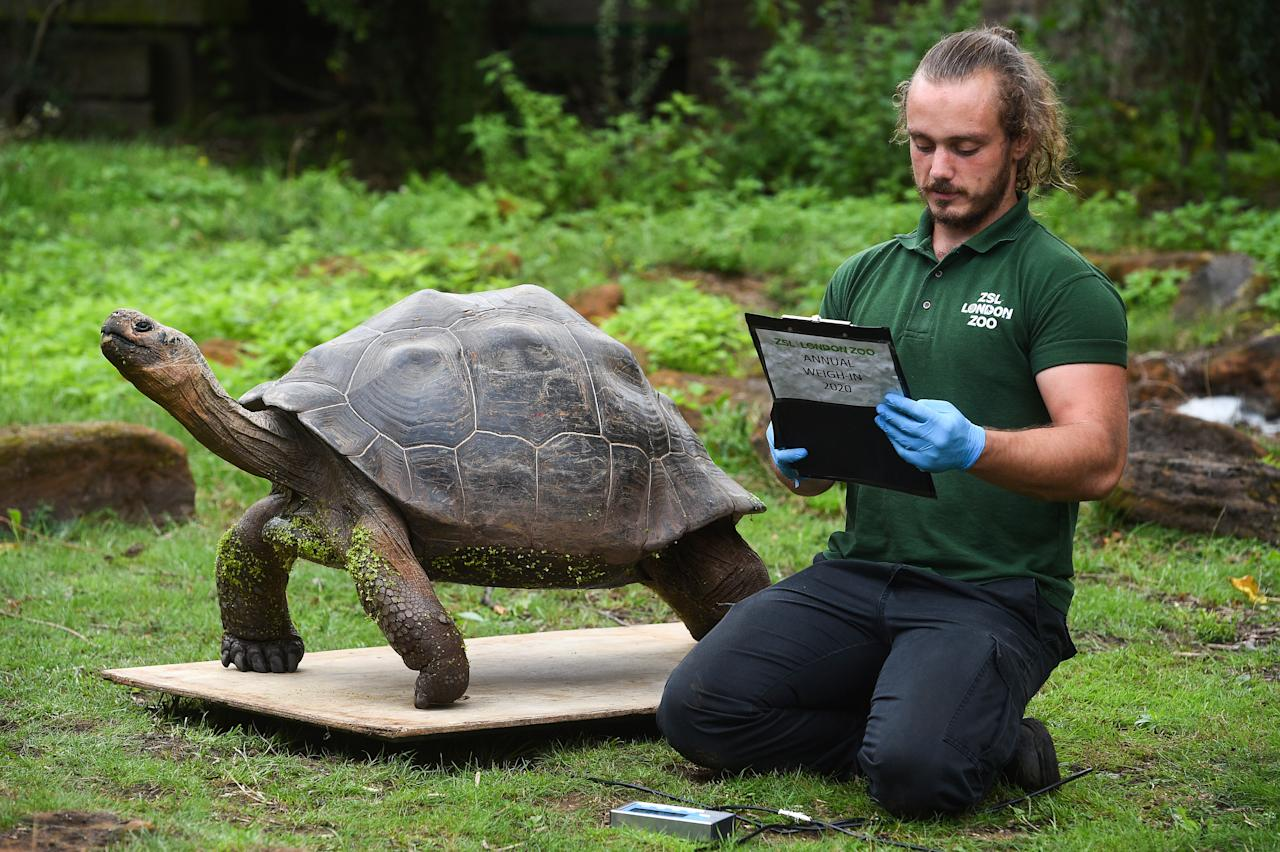 Keeper Joe Capon weighs Polly the Galapagos giant tortoise during the annual weigh-in at ZSL London Zoo, London.