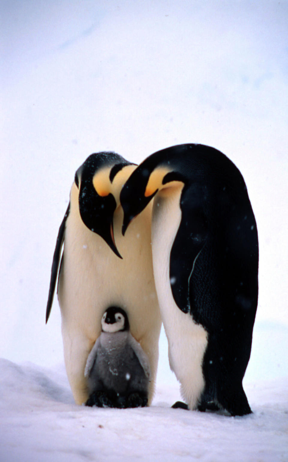 Emperor penguin adults and chick (Fritz Pölking/WWF/PA)