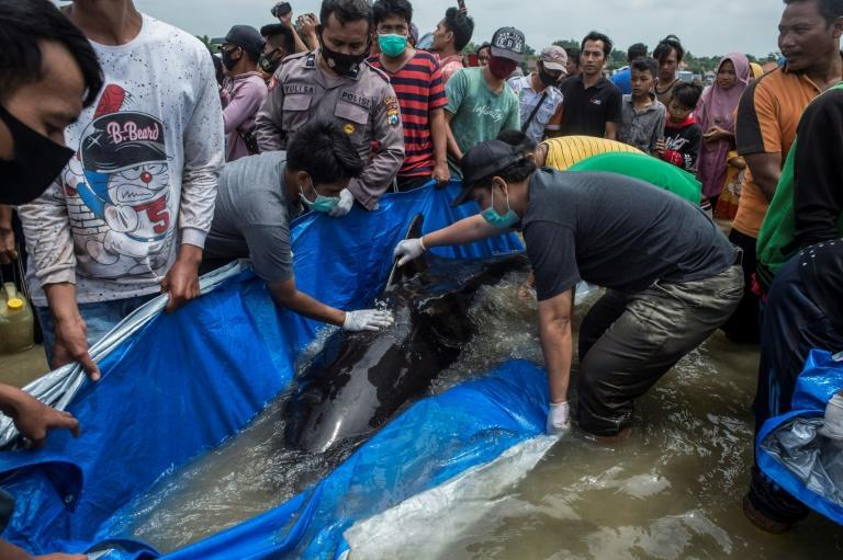 A rescue effort was launched after nearly 50 pilot whales were stranded on a beach in Indonesia; but the majority did not survive