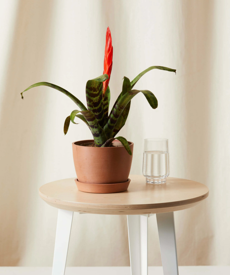 """<strong><h2>Vriesea</h2> </strong><br>""""Their firey colored blooms add a distinct and memorable architectural style to any setting. Maintenance wise, they only require a watering once a week,"""" Letier says. Now that's our kind of plant!<br><br><em>Shop</em> <strong><em><a href=""""https://www.etsy.com/shop/FloridaPlantsGardens"""" rel=""""nofollow noopener"""" target=""""_blank"""" data-ylk=""""slk:Bloomscape"""" class=""""link rapid-noclick-resp"""">Bloomscape</a></em></strong><br><br><strong>Bloomscape</strong> Bromeliad Vriesea Splenriet, $, available at <a href=""""https://go.skimresources.com/?id=30283X879131&url=https%3A%2F%2Fbloomscape.com%2Fproduct%2Fbromeliad-splenriet"""" rel=""""nofollow noopener"""" target=""""_blank"""" data-ylk=""""slk:Bloomscape"""" class=""""link rapid-noclick-resp"""">Bloomscape</a>"""