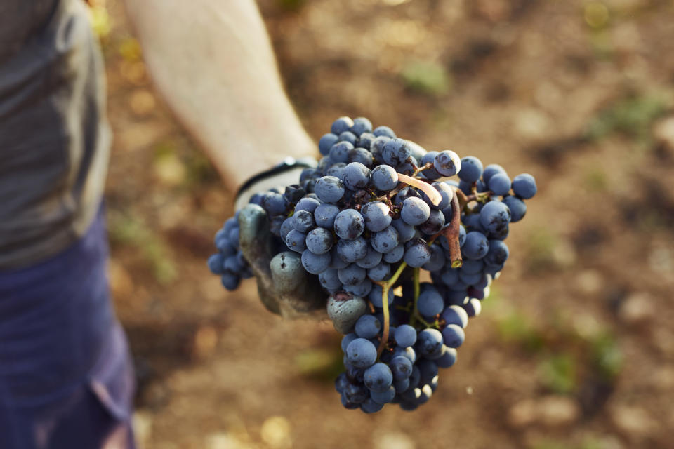 Close-up of hand holding grapes at vineyard