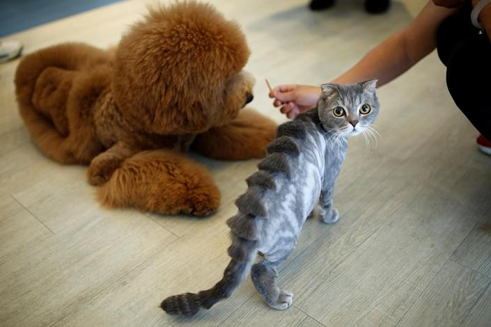 <p>A cat with a stegosaurus spine design cut into its fur is seen next to a dog at a pet shop, in Tainan, Taiwan June 19, 2016. (REUTERS/Tyrone Siu) </p>