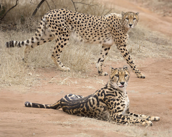 A regular cheetah (standing) and a king cheetah, showing off its broad back stripes.