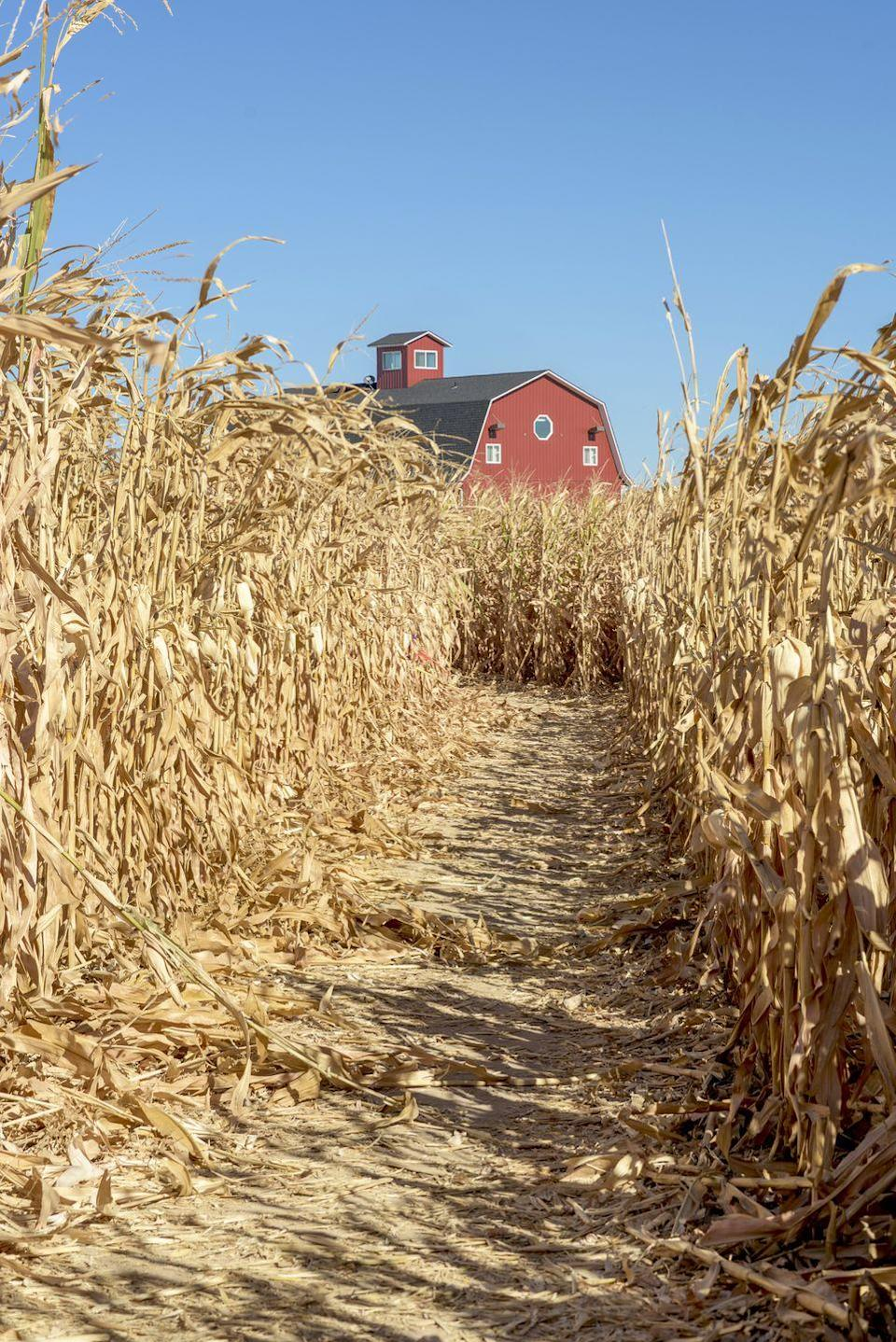 <p>Whether a haunted maze designed to inspire fearful-shrieks or a family-friendly one sure to delight, there's no shortage of corn mazes across America in the fall. The best ones are adjacent to autumn festivals with games, rides, and food, so give yourself plenty of time to finish and enjoy!</p>