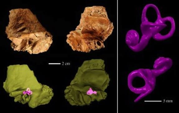 Interbreeding Common? Ancient Human Had Neanderthal-Like Ear
