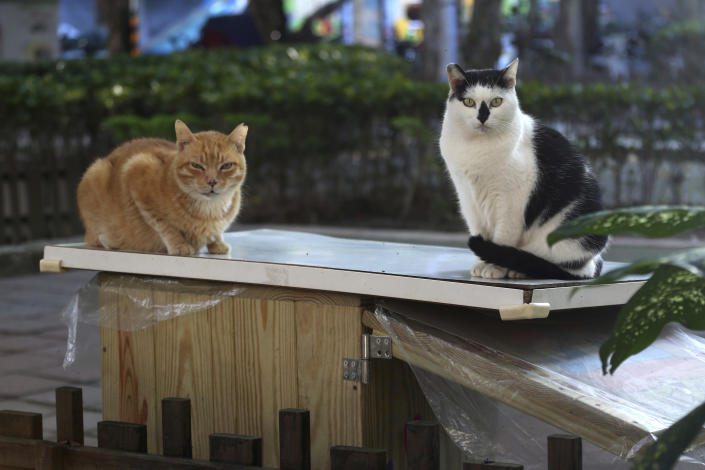 "Street cats ""Pipi,"" right, and ""Laoda (boss)"" sit on the roof of a Midnight Cafeteria in Taipei, Taiwan, Sunday, Dec. 27, 2020. Launched in September, the ""cafeteria"" is actually 45 small wooden houses painted by Taiwanese artists and scattered across Taipei. The idea is to give the cats a place to rest while making feeding them less messy. (AP Photo/Chiang Ying-ying)"