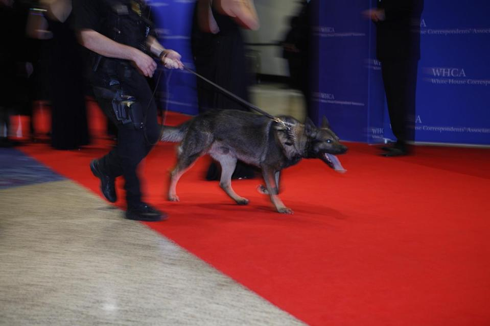 <p>A bomb dog takes a last look ahead of President Obama's arrival for the 2016 White House Correspondents' Dinner at the Washington Hilton in Washington, D.C. <i>(Photo: Khue Bui for Yahoo News)</i></p>