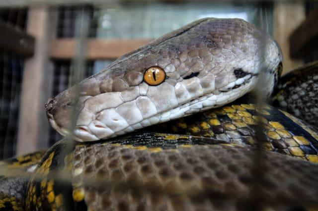 Reticulated Pythons In Aceh, Indonesia