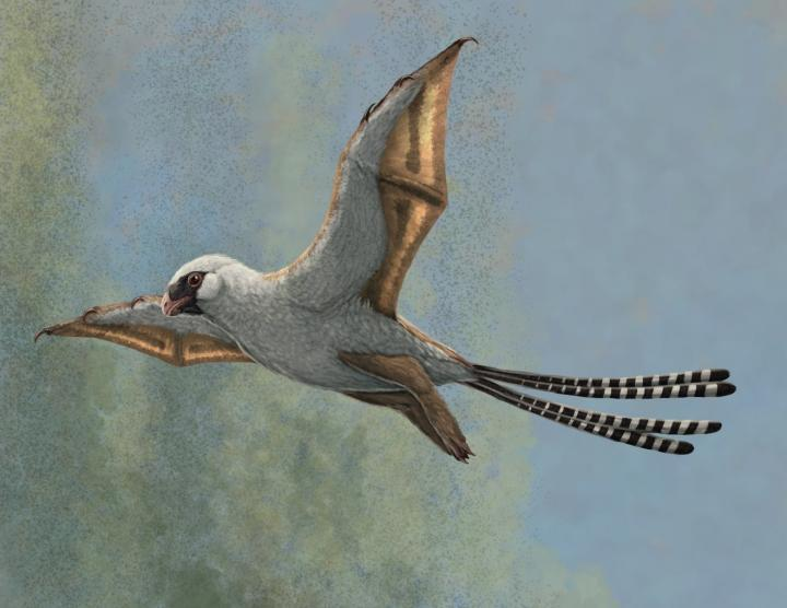 How Ambopteryx might have looked in flight (McGill)
