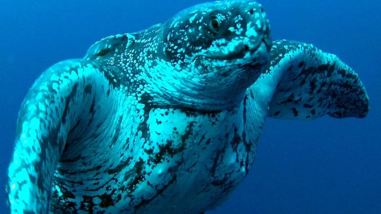 Feeding China's appetite for jellyfish would take food from turtles, group warns