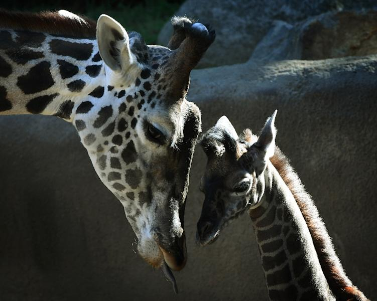 Wild giraffe numbers have plummeted by 40 percent in the past three decades (AFP Photo/Mark RALSTON)