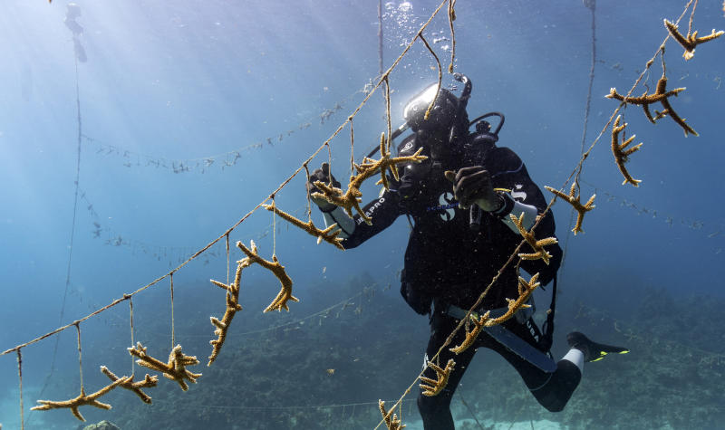 Diver Lenford DaCosta cleans up lines of staghorn coral at a nursery inside the Oracabessa Fish Sanctuary Tuesday, Feb. 12, 2019, in Oracabessa, Jamaica. After a series of natural and man-made disasters in the 1980s and 1990s, Jamaica lost 85 percent of its once-bountiful coral reefs. But today, the corals and tropical fish are slowly reappearing, thanks in part to a series of careful interventions. (AP Photo/David J. Phillip)