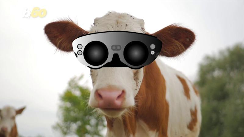 Cows in Russia are currently being fitted with VR headsets to boost their happiness