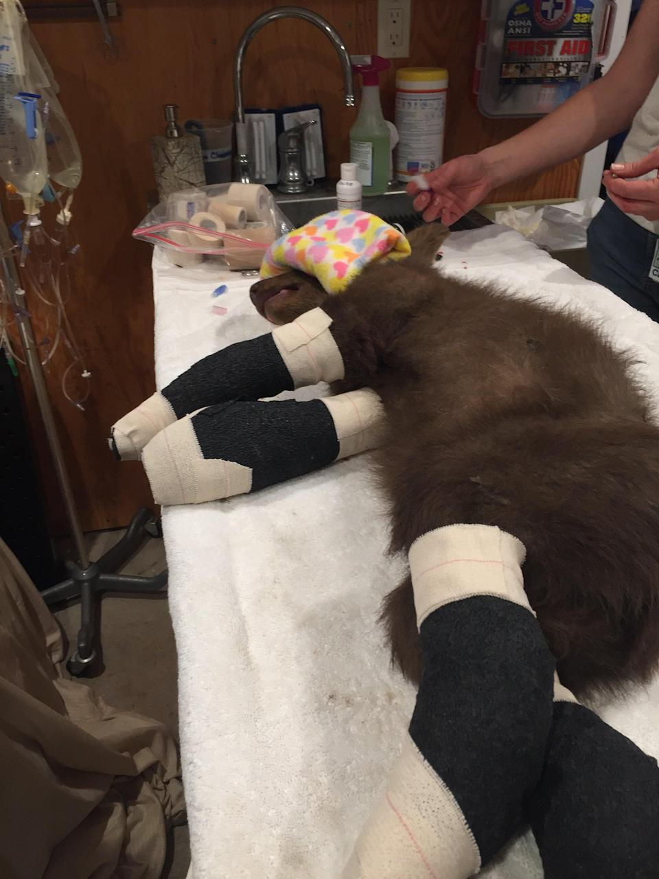 A black bear cub is recovering in California after being rescued Sunday from the Tamarack wildfire (Lake Tahoe Wildlife Care)