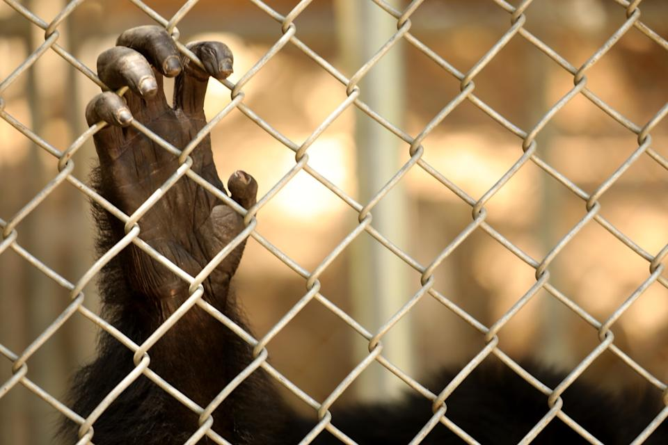 One of the 32 chimpanzees that still resides at the shuttered Wildlife Waystation hangs onto its enclosure