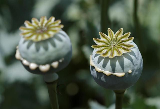 <p>Lanced poppy bulbs are shown in a field during a military operation in the municipality of Coyuca de Catalan, Mexico, April 18, 2017. (Photo: Henry Romero/Reuters) </p>