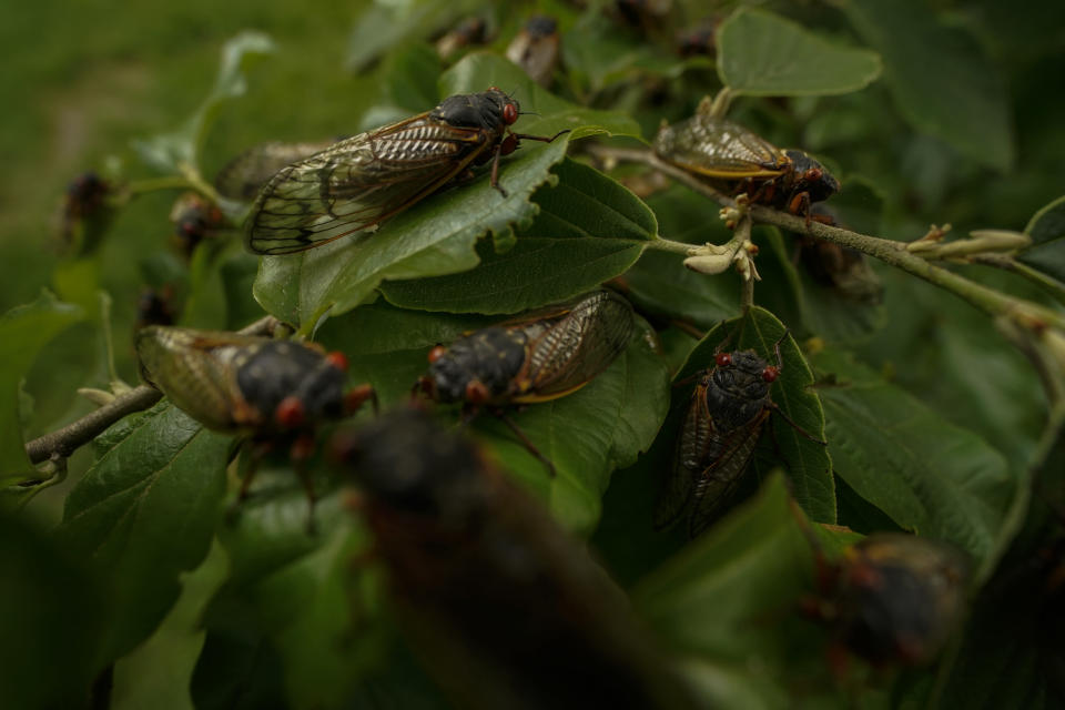 Adult cicadas cover a plant, Monday, May 17, 2021, at Woodend Sanctuary and Mansion, in Chevy Chase, Md. (AP Photo/Carolyn Kaster)