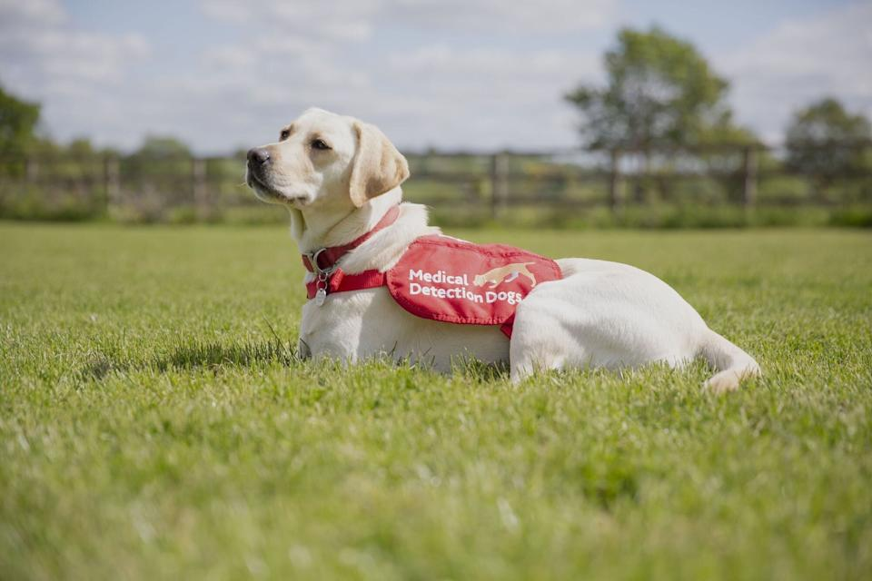 Star is one of the detection dogs being trained to sniff out Covid. (Photo: Neil Pollock)