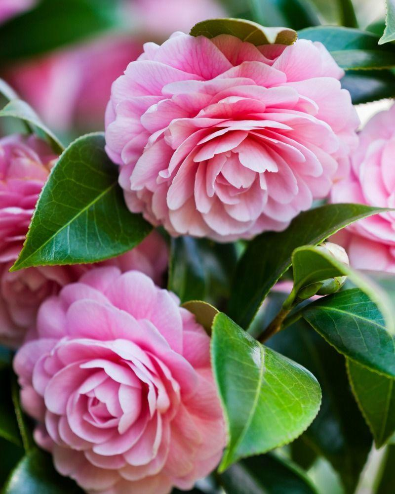 """<p>These impressive, lush flowers were beloved by the Victorians who gave them the meaning """"my destiny is in your hands."""" Tailor the flower's color to your relationship: White camellia should be given to someone you like, pink camellia is for someone you miss, and red camellia is best for a significant other. </p>"""