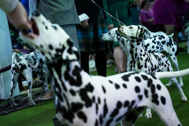 <p>Dalmatians compete at the 142nd Westminster Kennel Club Dog Show at The Piers on Feb. 12, 2018 in New York City. (Photo: Drew Angerer/Getty Images) </p>