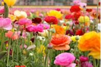 """<p>Commonly confused with peonies, ranunculus product big, fluffy blooms in a variety of colors. While these flowers do best with the most sun possible, they aren't super compatible with high temperatures, so keep that in mind.</p><p><a class=""""link rapid-noclick-resp"""" href=""""https://www.amazon.com/Outsidepride-Ranunculus-Mache-20-Seeds/dp/B009LA2HDS/ref=sr_1_5?dchild=1&keywords=ranunculus+seeds&qid=1620331049&sr=8-5&tag=syn-yahoo-20&ascsubtag=%5Bartid%7C10070.g.36355297%5Bsrc%7Cyahoo-us"""" rel=""""nofollow noopener"""" target=""""_blank"""" data-ylk=""""slk:Buy ranunculus seeds."""">Buy ranunculus seeds.</a></p>"""