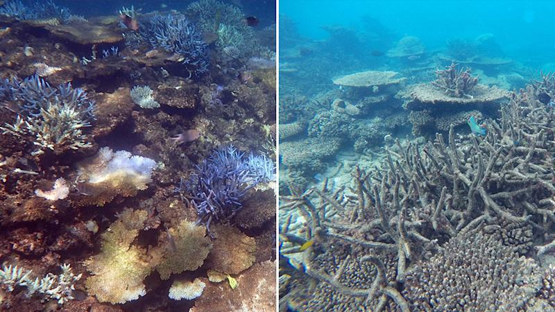 Pictured are severely bleached pieces of coral. Source: Coral Reef Studies via AAP.