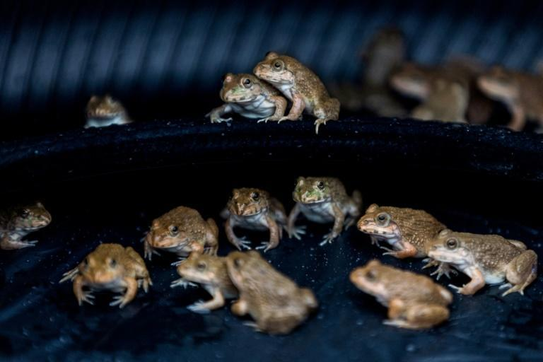 Frogs sit in a makeshift pond made from a tyre on the bonnet of a taxi (AFP/Jack TAYLOR)