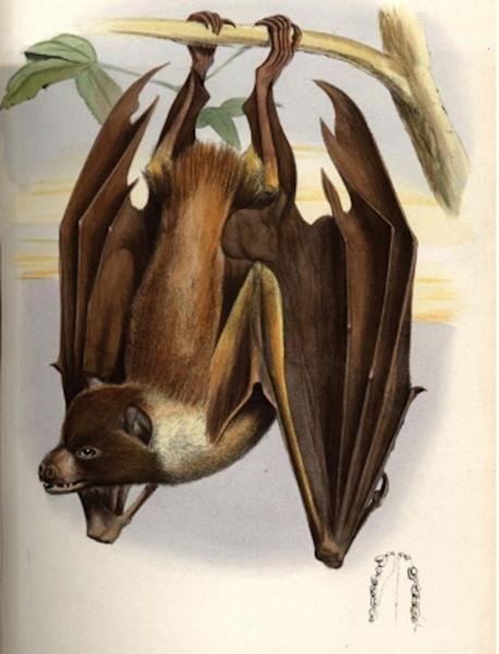 A 1882 illustration of the Mortlock flying fox from Proceedings of the Zoological Society of London.