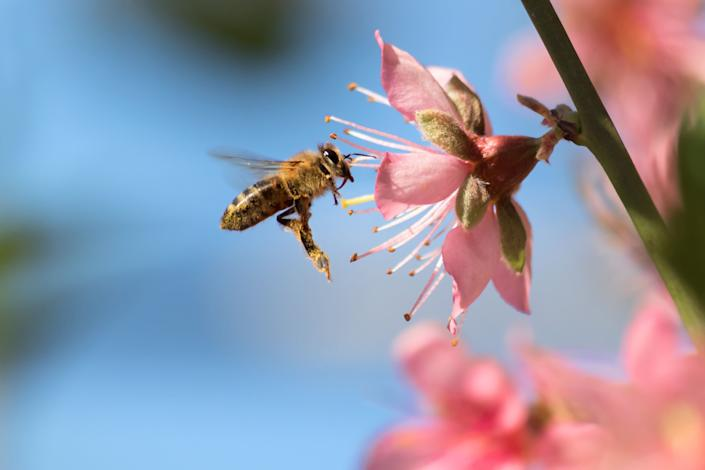 A honeybee flies to a desert gold peach flower. Many Americans choose pollinator-friendly plants for their gardens. (Photo: Sumiko Scott via Getty Images)