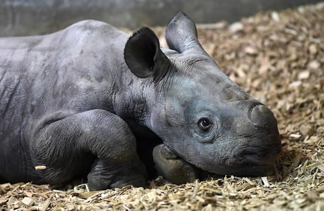 Despite conservation efforts, the Black Rhino remains critically endangered because of rising demand for their horn in Vietnam and China, who use them in folk remedies.