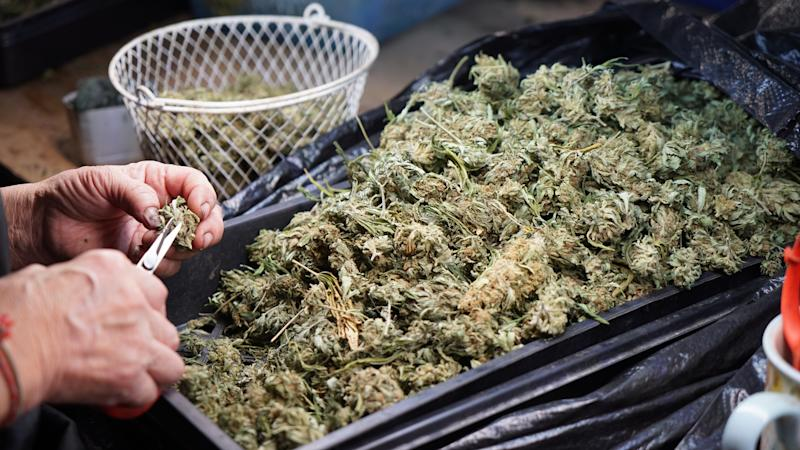 A pair of hands trimming dried marijuana flowers.