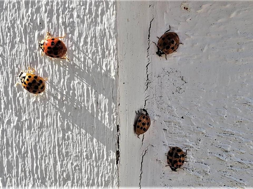 A few stragglers from the swarm remain at Susan Walsh's house. (Jane Robertson/CBC - image credit)
