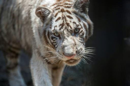 Mexico zoo names tiger cub for French football star Gignac
