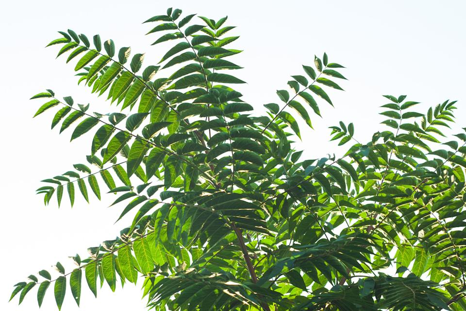 Ailanthus altissima fis a genus of trees belonging to the family Simaroubaceae. Branches with green leaves that look like a tall tropical palm tree. Ailanto, Tree of Heaven. Nature background. (Photo: Yurii Sliusar via Getty Images/iStockphoto)
