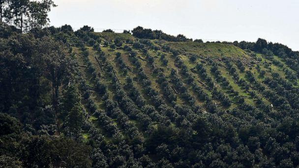PHOTO: Avocado trees grow in an orchard in Zirahuen, in the Mexican state of Michoacan, Oct. 18, 2016. (Ronaldo Schemidt/AFP/Getty Images, FILE)