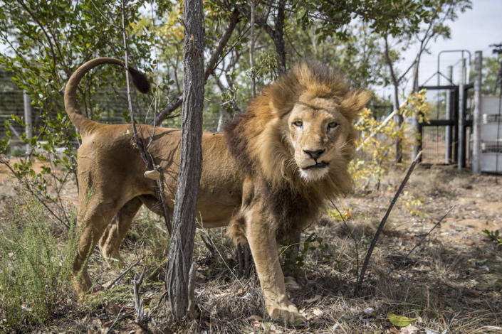 <p>One of the 33 lions enjoys his new enclosure at the Emoya Big Cat Sanctuary on May 1, 2016, in Vaalwater, South Africa. Thirty-three lions rescued from circuses in Peru and Colombia are heading back to their homeland to live out the rest of their lives in a private sanctuary in South Africa. The operation, which is the largest-ever airlift of lions, was organized and paid for by Animal Defenders International.<i> (Dan Kitwood/Getty Images)</i></p>