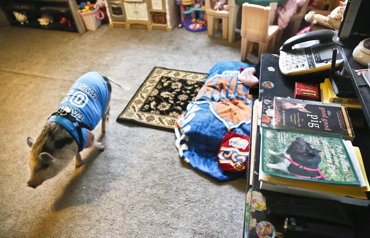 "Danielle Forgione's family pet pig Petey, walks around next to his bed wrapped in a ""Knick"" blanket, on Thursday, March 21, 2013, in the Queens borough of New York. Forgione is scrambling to sell her second-floor apartment after a neighbor complained about 1-year-old Petey the pig to the co-op board. In November and December she was issued city animal violations and in January was told by both the city and her management office that she needed to get rid of the pig. (AP Photo/Bebeto Matthews)"