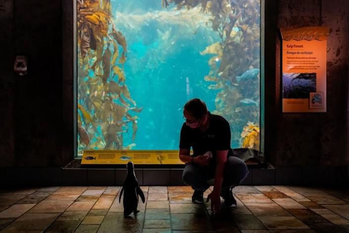 MONTEREY, CA - AUGUST 20: Rey, a penguin, looks out at the Kelp Forest tank while stopping near Senior Aviculturist Kim Fukuda, 46, of Marina, while Rey takes a stroll in the aquarium outside of the penguin enclosure at the Monterey Bay Aquarium on Thursday, Aug. 20, 2020 in Monterey, CA. The aquarium has been closed to the public until further notice due to the ongoing Coronavirus Pandemic. (Kent Nishimura / Los Angeles Times)