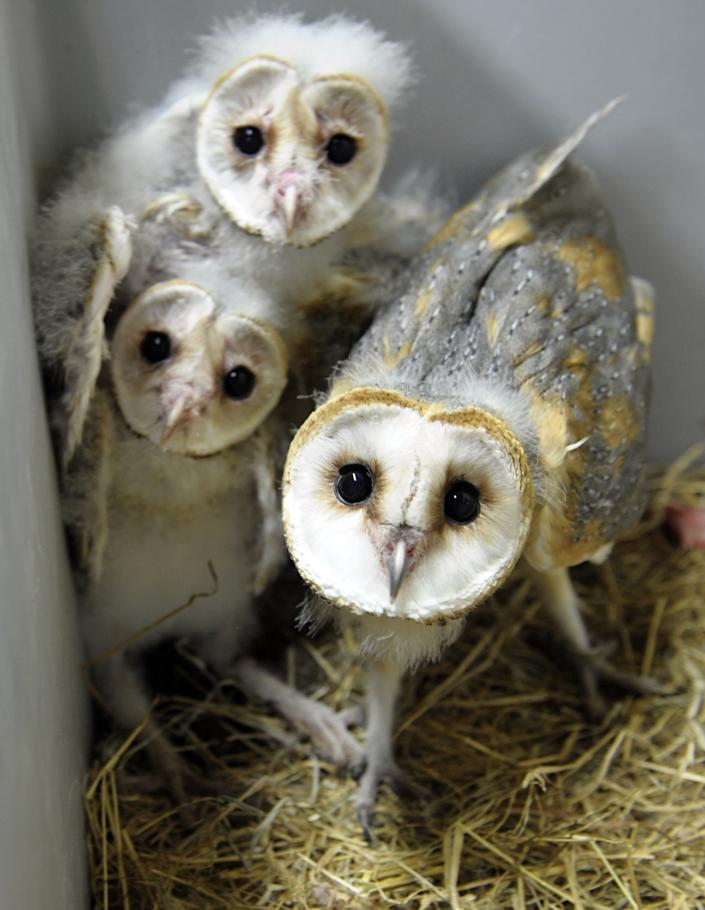 Barn owl chicks are pictured at the zoo in Amneville, France, on July 8, 2013.