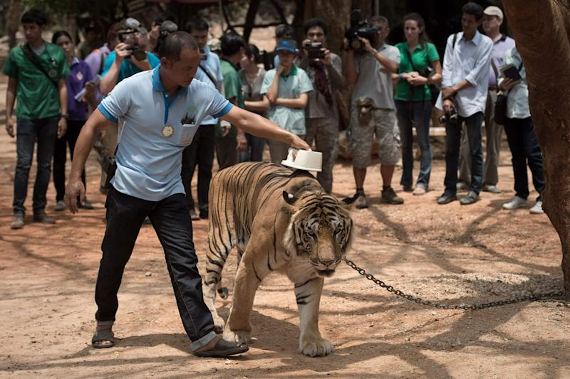 A wildlife official scans the microchip implanted in a tiger in 2015 (AFP/Getty images)