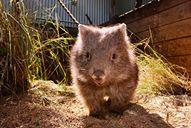 "<p>Lola the wombat isn't camera shy. She happily played with her keepers and other animals on April 21 at Featherdale Wildlife Park in Sydney.</p><p>The wombat is shown drinking, hiding in shrubs and even sniffing curiously at a <a href=""https://newswire.storyful.com/storylines/*/stories/165399/preview"">quokka</a> who shared its enclosure. Credit: Facebook/Featherdale Wildlife Park via Storyful</p>"